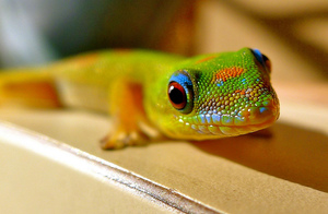 Gold dust day gecko 1