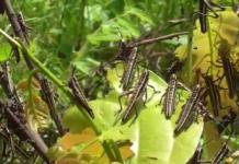 Locust CN