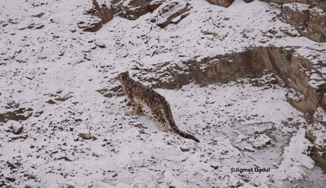 Spotting the Snow Leopard in Ladakh