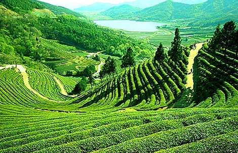 Happy Valley Tea Estate in Darjeeling