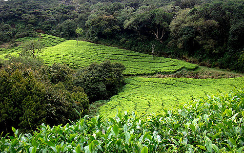 Nilgiri Tea Plantations in Tamil Nadu