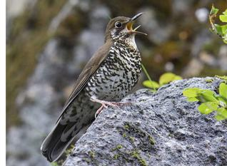 The Himalayan Forest Thrush calls out in musical notes.— Photo: Craig Brelsford