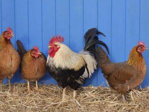 زندگی مرغی و زندگی خروسی و رشد شخصی