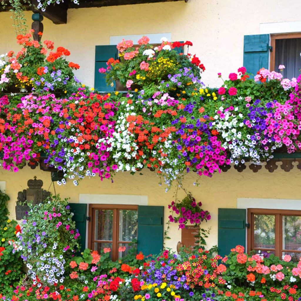 Balcony garden plants with colorful varieties of flowers flowing everywhere which can be a balcony vegetable garden