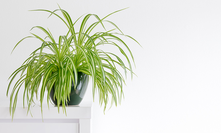 Indoor plants as air purifier with spider plant which is robust and demands less of your constant attention