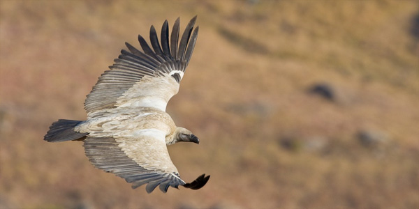 Cape-Vulture-in-flight