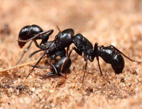 चींटियों से निबटने के घरेलू उपाय