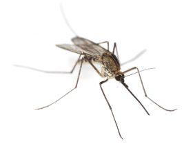 घर से ऐसे भगायें मच्छर