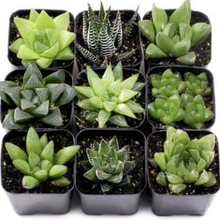 Succulent-Plant-wedding-gifting-ideas-2020