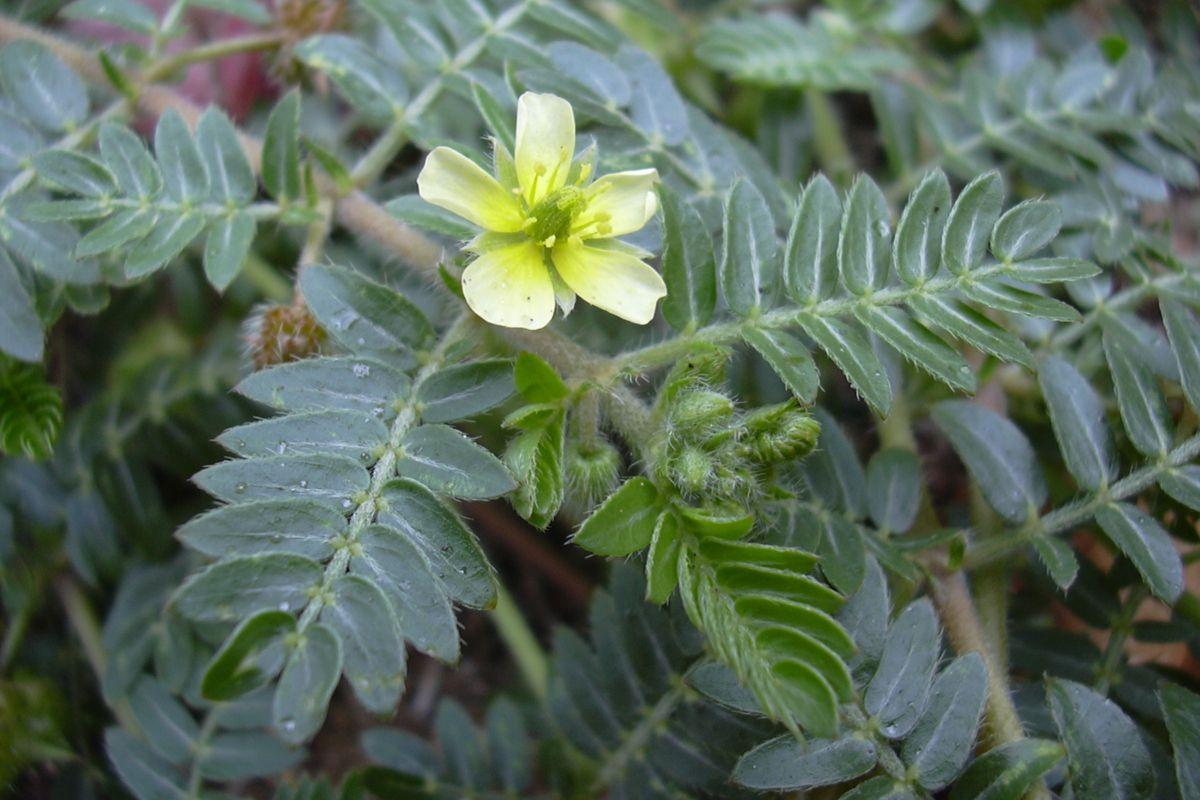 A Gokshura Plant