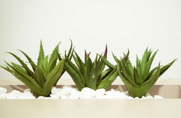 How Aloe Vera can enhance your sexual performance?