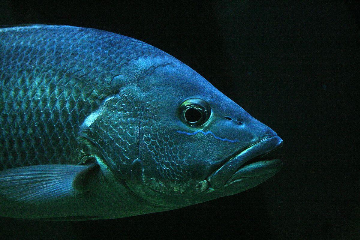 क्या मछली का तेल (फिश ऑयल) इरेक्टाइल डिस्फंक्शन को दूर करने में मददगार है?