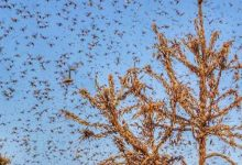 Photo of Locusts Still Active In Various Rajasthan, UP Districts