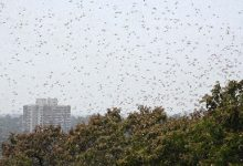 Photo of Locusts Damage Over 1,100 Hectares Of Crops In Nepal