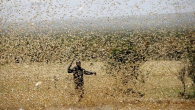 Photo of Haryana Gears Up For Intense Locust Attack