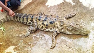 Photo of Crocodile Allegedly Killed, Eaten By Villagers In Malkangiri