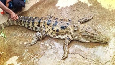 Photo of One Held In Crocodile Killing, Eating Case In Malkangiri