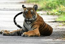 Photo of Royal Bengal Tiger Dies Of Heart Failure At Hyderabad Zoo