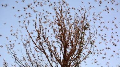 Photo of FAO Warns India Of Locust Attack, Choppers Pressed Into Service