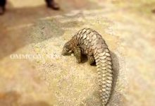 Photo of Odisha: Pangolin Rescued In Dhenkanal, Released Into Forest