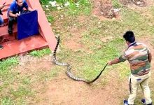 Photo of 9-Ft-Long King Cobra Rescued In Ganjam