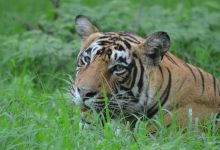 Photo of Tiger Census Sets Guinness Record For World's Largest Camera Trap Survey
