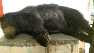 Photo of Odisha: Bear Chews Snapped Live Wire, Electrocuted