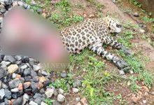 Photo of Severed Body Of Leopard Found Near Railway Tracks In Sundergarh