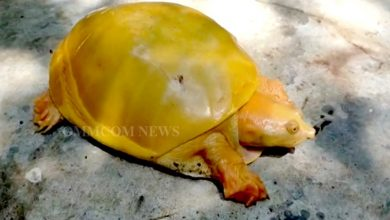 Photo of Rare Golden Turtle Rescued In Odisha's Bhadrak