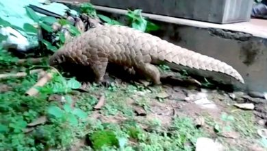 Photo of Pangolin Rescued From House Toilet In Nabarangpur