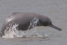 Photo of India To Launch 10-Year Project To Conserve Gangetic Dolphins