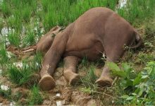 Photo of Elephant Carcass Found In Dhenkanal Paddy Field