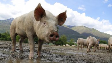 Photo of Over 1,000 Pigs Culled In Thailand To Prevent PRRS Virus