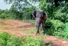 Photo of Dhenkanal's Man-Killer Tusker 'Rakesh' Now 'Tamed' & Let Loose To Natural Enclosure
