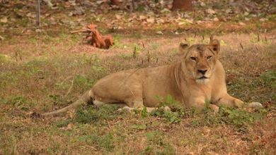 Photo of Lioness Succumbs To Old Age In Visakhapatnam Rescue Centre