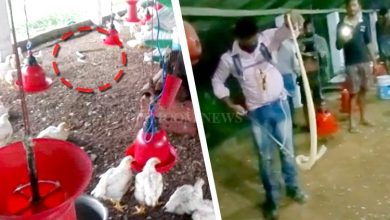 Photo of Watch How Cobra Being Rescued From Poultry Farm Near Pipili