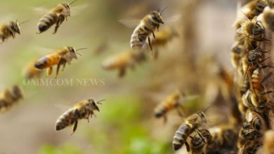 Photo of Six Students Injured In Honey Bee Attack In Mayurbhanj