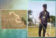 Photo of Rare Albino Cobra Rescued In Kendrapada, Released Later