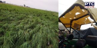 Hail storm and rain damages crop in Amritsar, Gurdaspur, Patiala and other parts of state