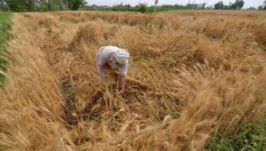 Punjab in Heavy rain With Hail Farmer loss of wheat