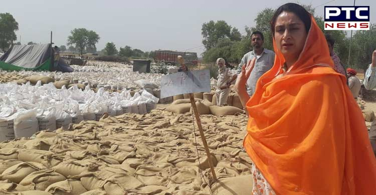 Instead of spreading canards, tell why lifting not being done in Mandis - Harsimrat Badal to CM