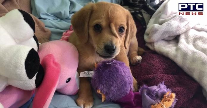 'Unicorn' puppy born with extra tail on head is ruling hearts of millions [VIDEO]