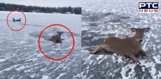 Canada: Man risks life, rescues family of deer from frozen lake [VIDEO]