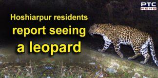 Coronavirus Punjab Lockdown , Leopard in Hoshiarpur