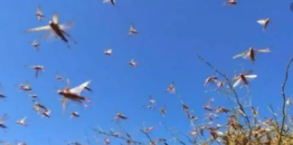 Haryana Government sought report of loss from locust attack