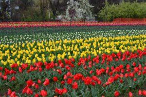 what is tulip garden