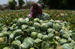 pattagobhi-ki-fasal-farming-and-agriculture tips