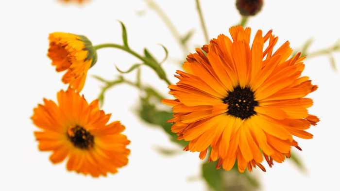 Health and beauty benefits of marigold